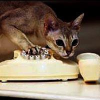 Yaramaz kedi, acil servis hattını aradı